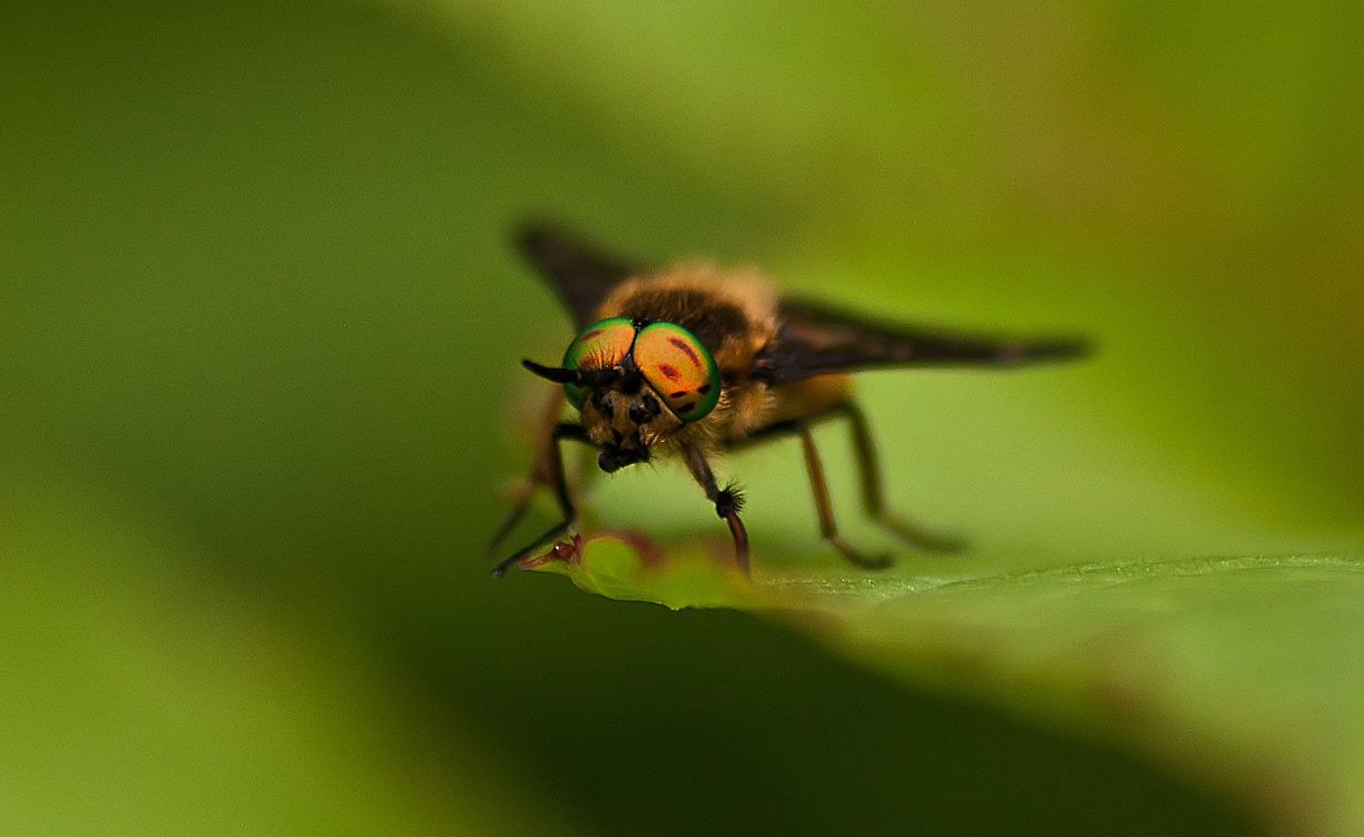 Kleine Stechfliegen