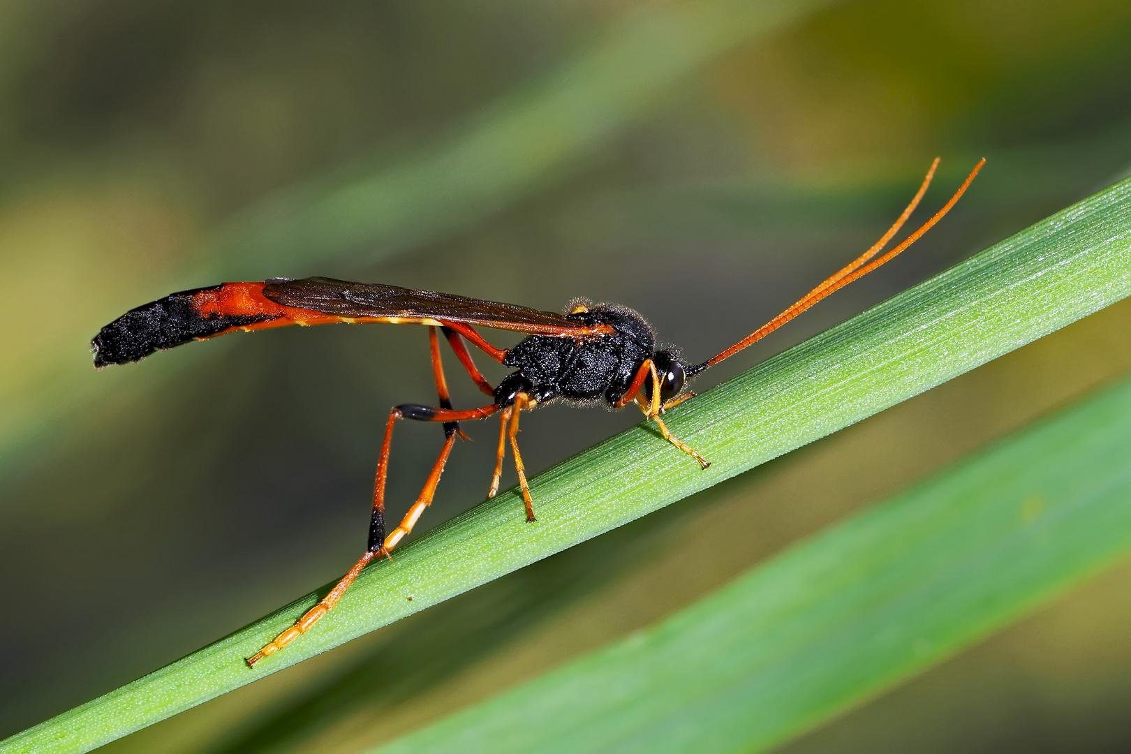 eine sichelwespe therion circumflexum un insecte assez sp cial trange et beau foto. Black Bedroom Furniture Sets. Home Design Ideas