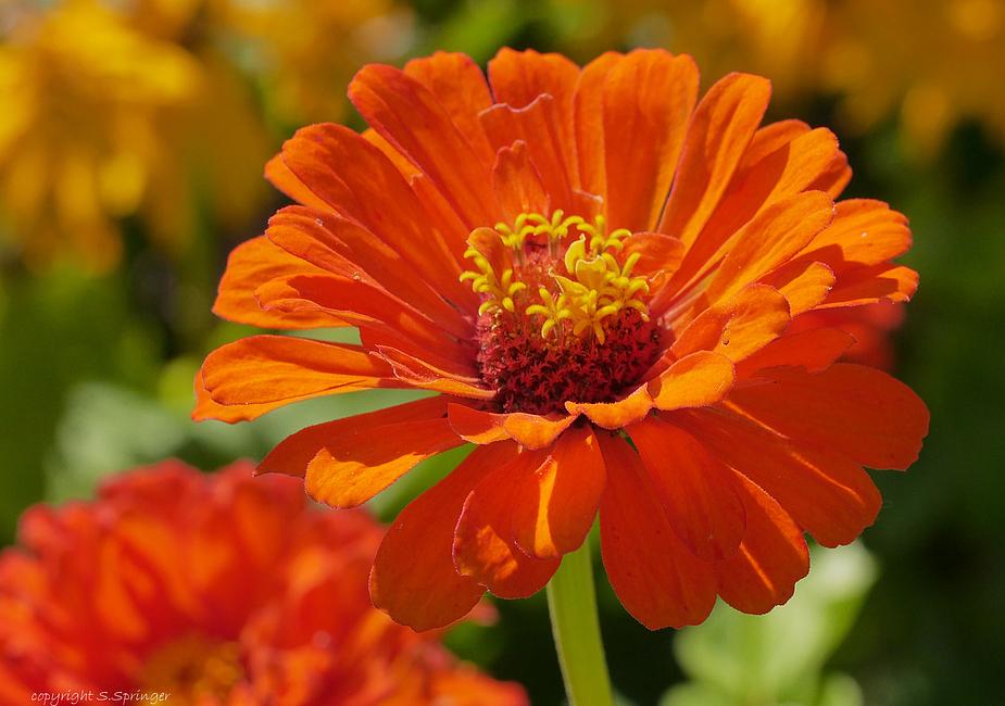 Eine Sommerblume in orange.....