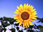 eine Sonnenblume eben
