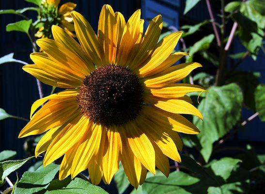 Eine Sonnenblume...