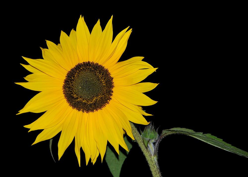 Eine Sonnenblume in der Nacht