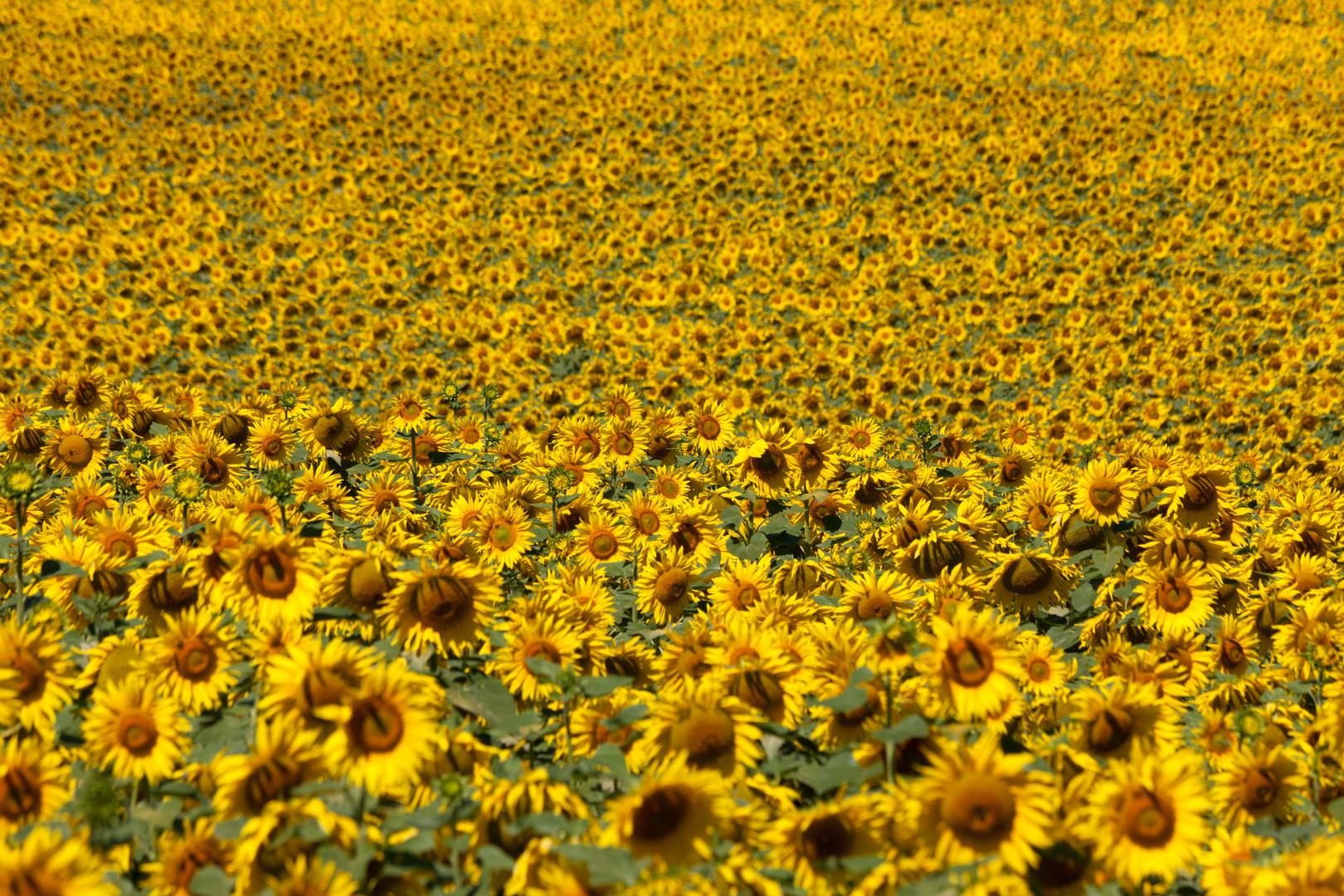 Eine Sonnenblume, oder zwei ...