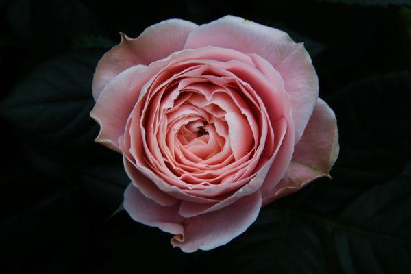 ...eine Sonntags(neu)rose...
