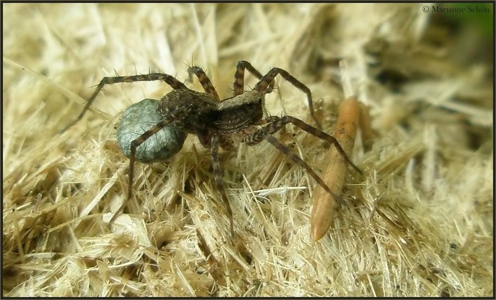Eine Spinnenmama...