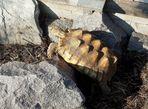 Eine Spornschildkröte beim Klettern