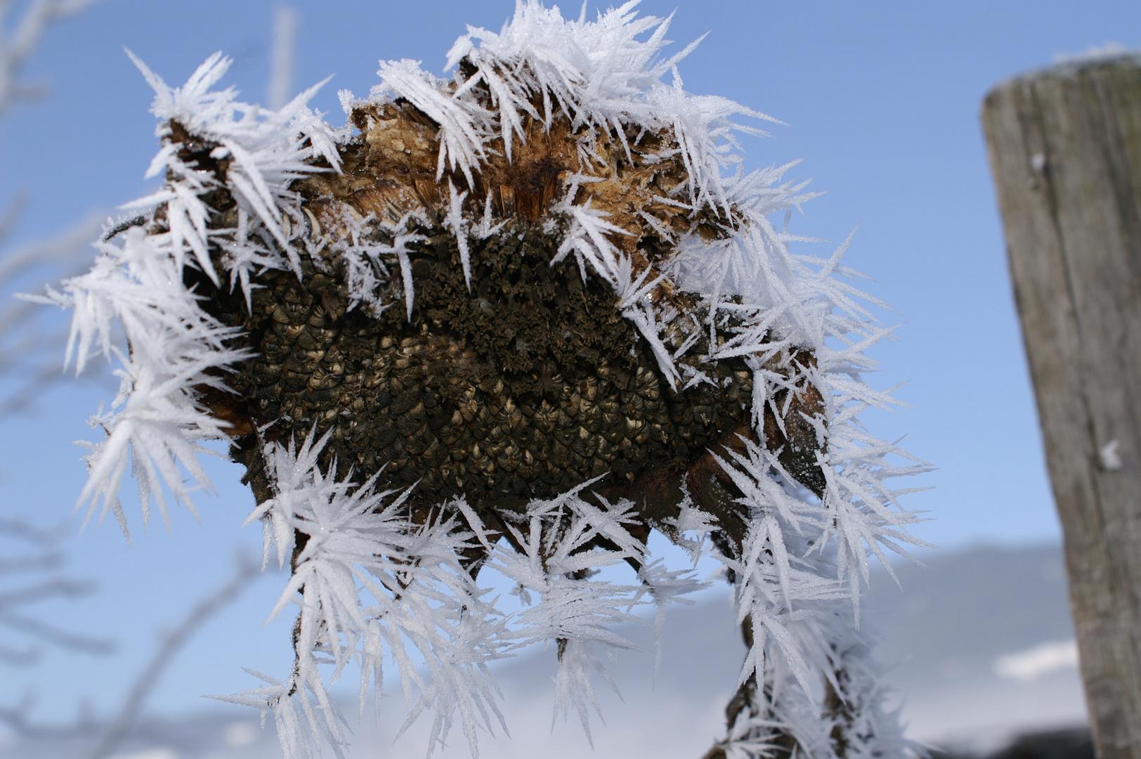 eine stachelige Sonnenblume
