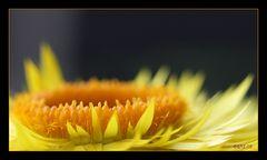 eine Strohblume