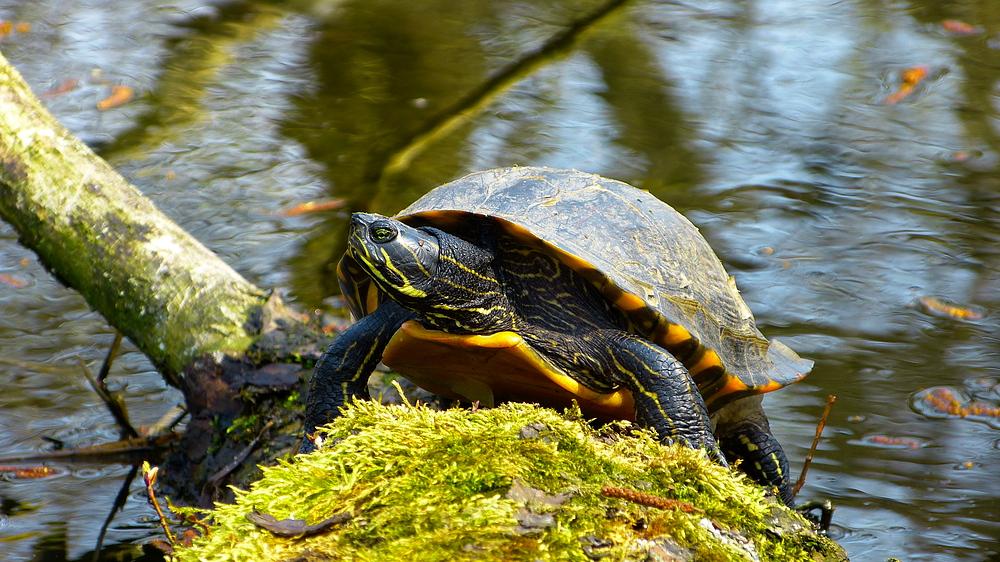 Eine Sumpfschildkröte im Ostenmeer
