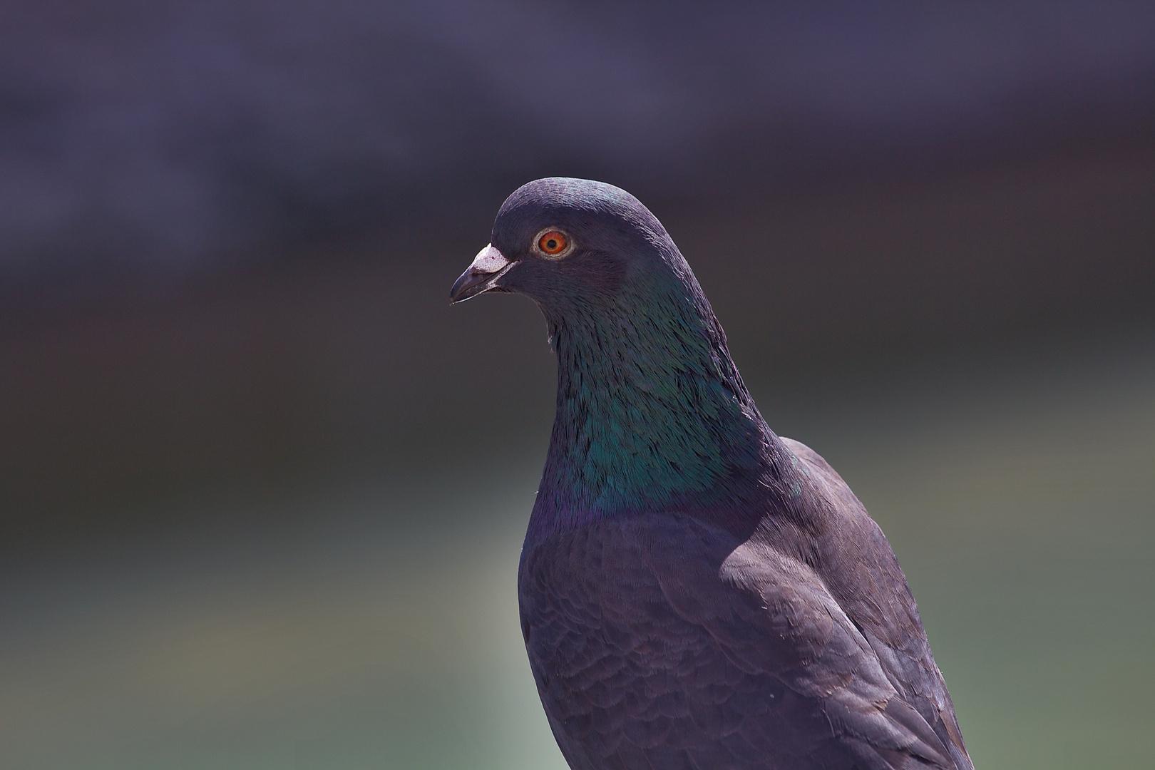 Eine Taube