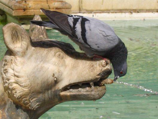 Eine Taube am Springbrunnen