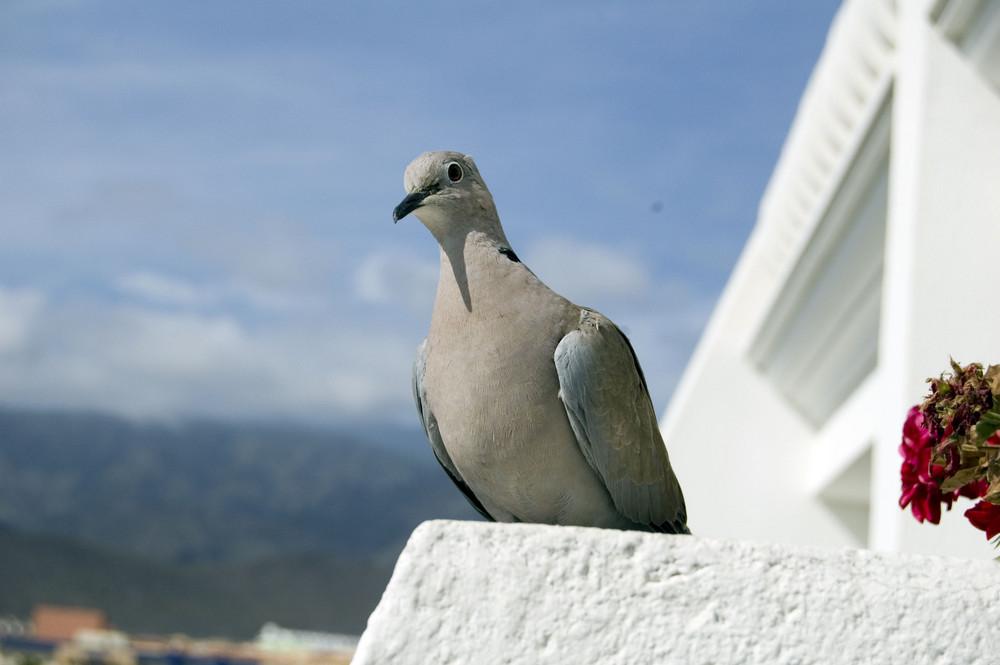 Eine Taube auf Teneriffa