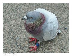 Eine Taube fiel vom Himmel