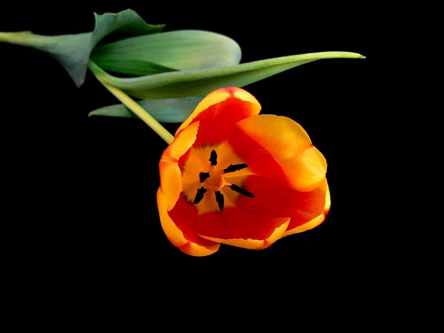 Eine Tulpe für Dich