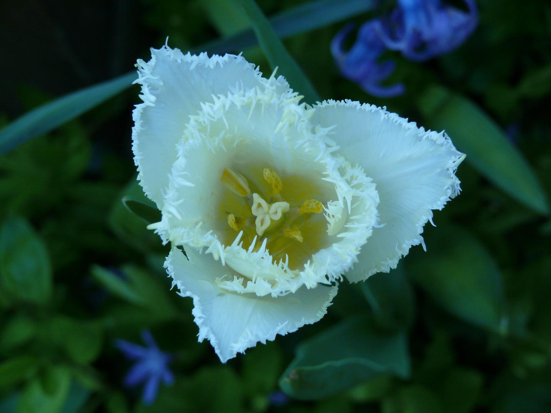 eine Tulpe mehr ...