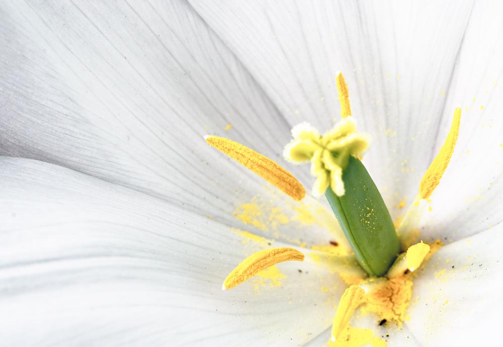 Eine Tulpe offenbart ihre Schönheit...