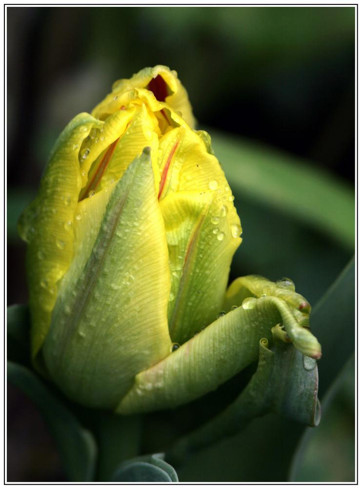 Eine Tulpe wird geboren