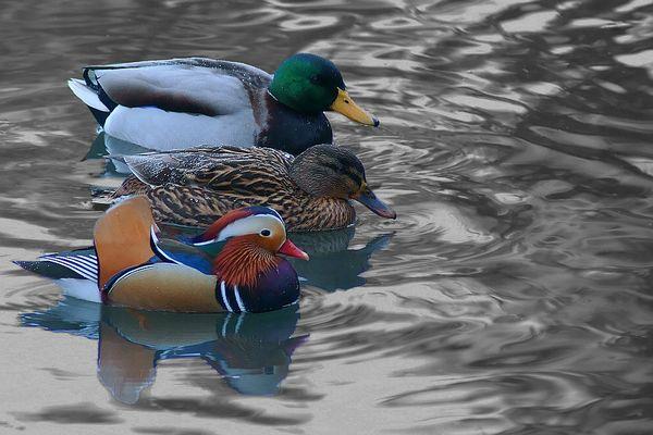 Eine Variation von Dreierlei Ente