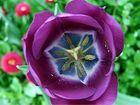 Eine violette Schönheit
