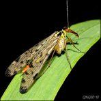 Eine weibliche Panorpa germanica