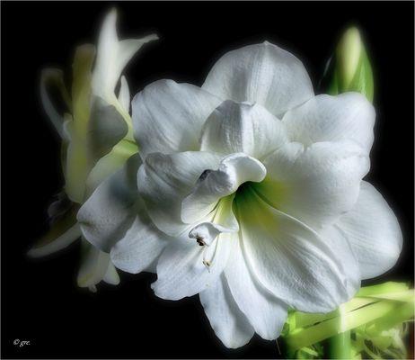 Eine weiße Amaryllis