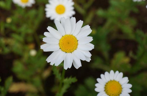 Eine weiße Blume aus dem Botanischer Garten Akureyri