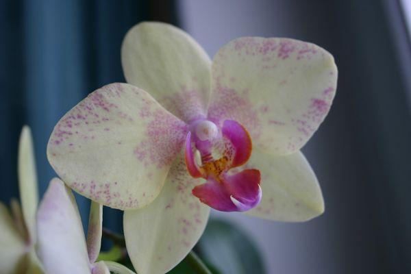 Eine weisse Orchidee