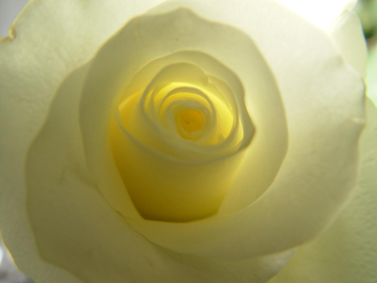 Eine Weiße Rose!