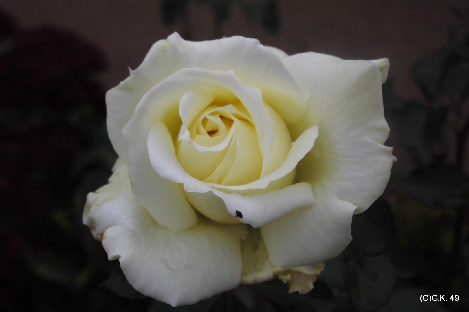 Eine weiße Rose in Planten un Blomen fotografiert !
