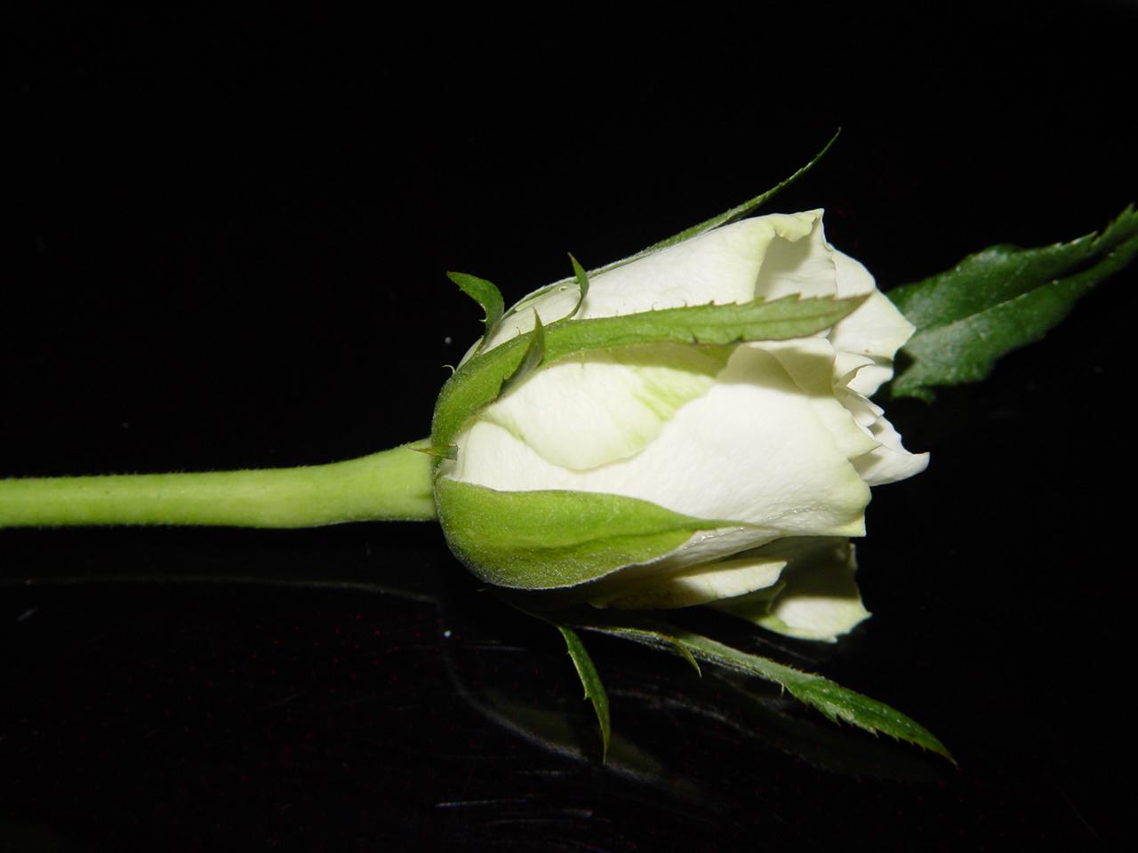 Eine Weiße Rose mit einem leichten Schatten!!!