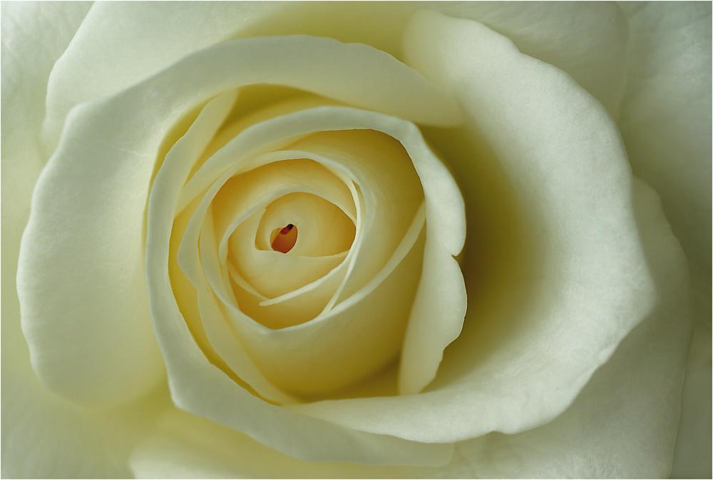 eine weisse rose mit herz f r die dame des herzens foto bild emotionen liebe pflanzen. Black Bedroom Furniture Sets. Home Design Ideas