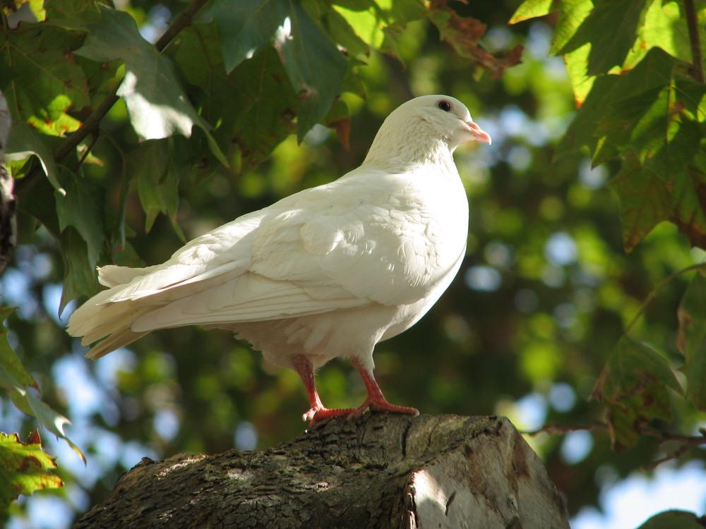 Eine Weiße Taube.......aus Sevilla