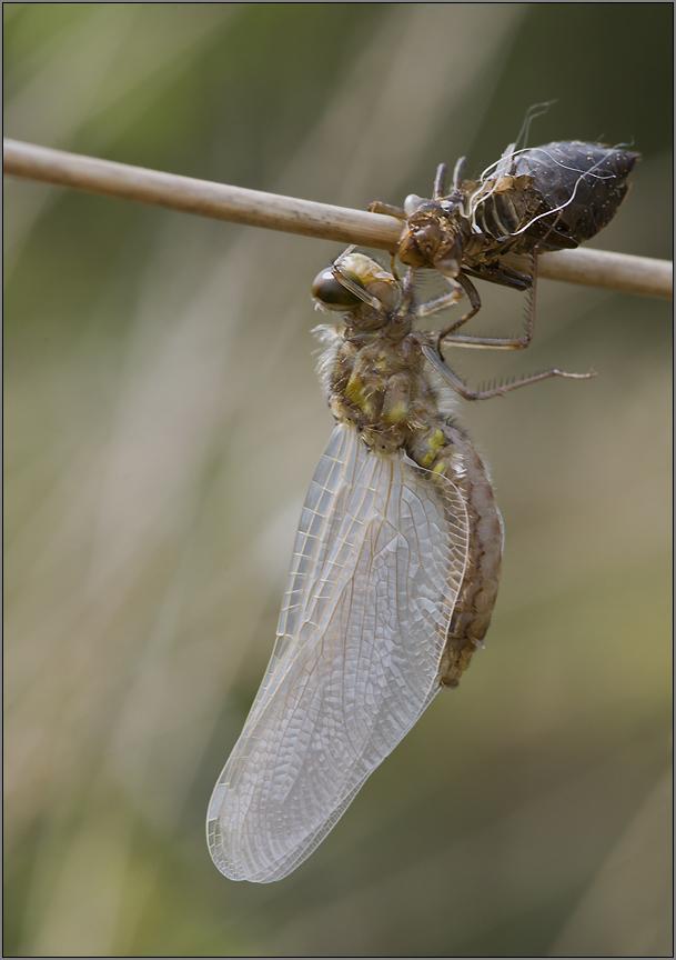 eine weißflügelliblle