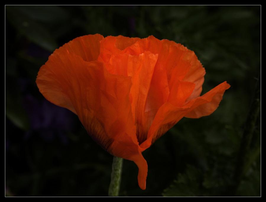 Eine weitere Mohnblüte