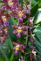 eine weitere Orchidee aus der Biosphäre Potsdam