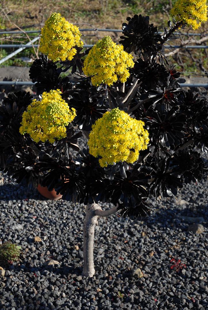 Eine weitere unbekannte Pflanze aus La Palma II