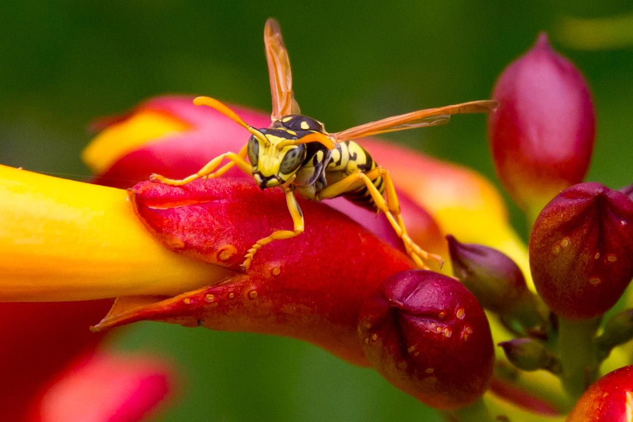 Eine weitere Wespen