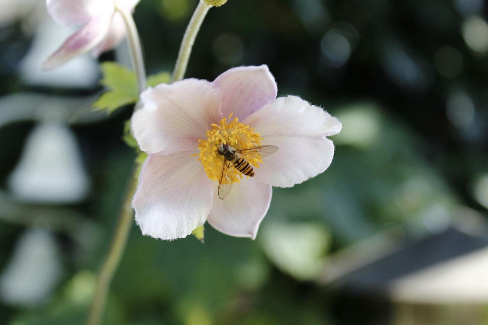 Eine Wespe
