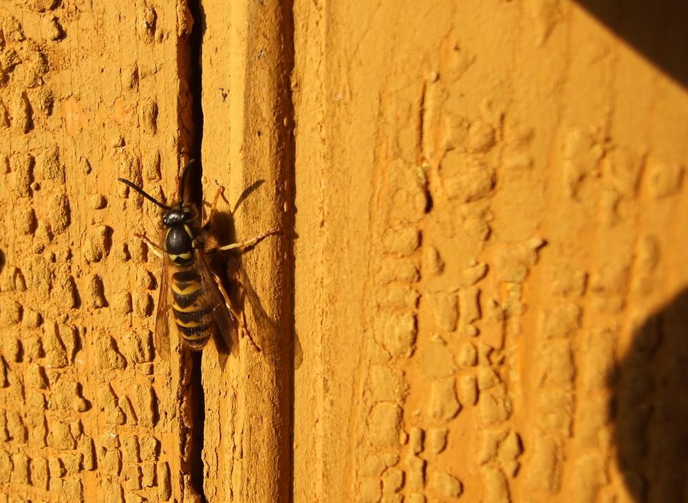 Eine Wespe am Bienenwagen