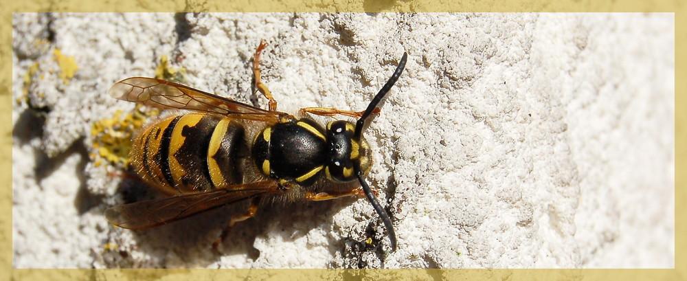 Eine Wespe sonnt sich....... :-)