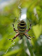 Eine Wespenspinne verspeist ihren Gemahl !!!