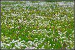 Eine Wiese voller Schachtbrettblumen