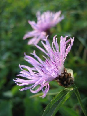 Eine Wiesenblume
