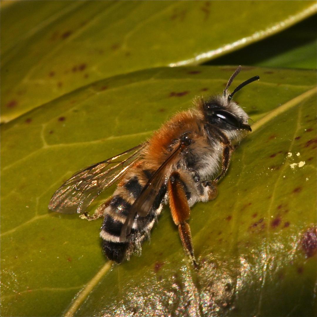 Eine Wildbiene aus dem Garten . . .