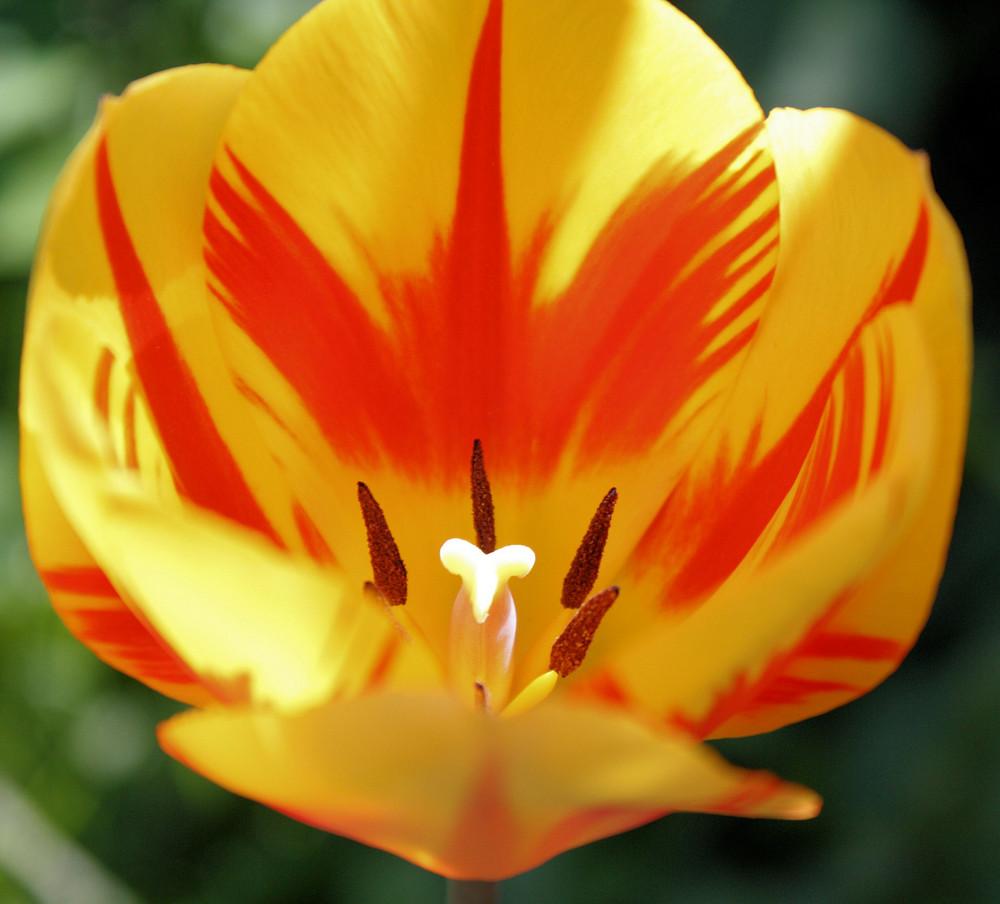 Eine wunder schöne Tulpe im Garten meiner Eltern