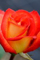 Eine wunderbare Rose