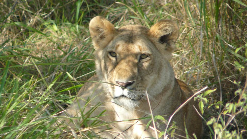 Eine wunderschöne Löwin