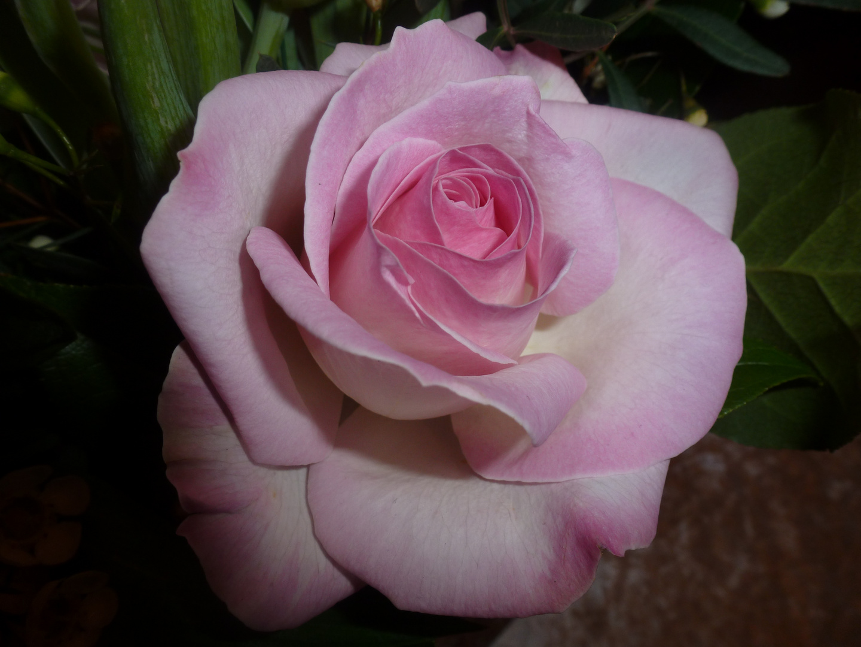 Eine wundervolle Rose