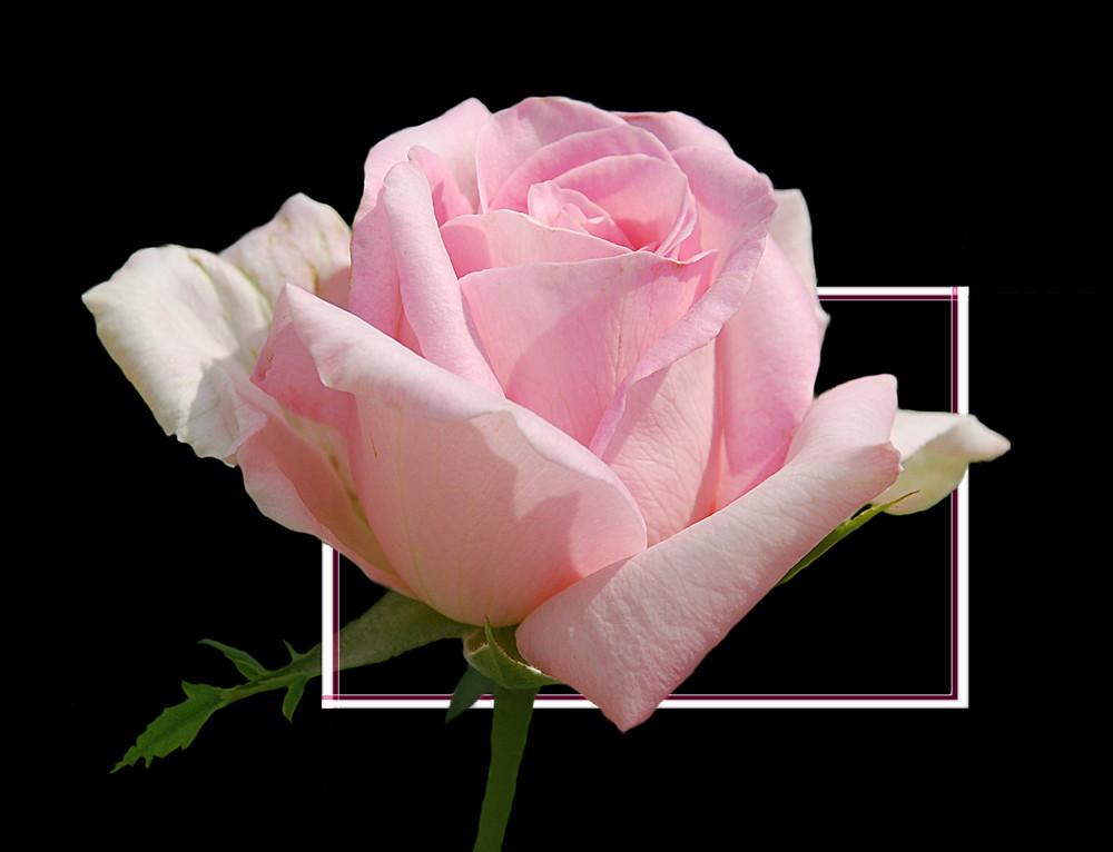 Eine zarte Rose # Una rosa delicada