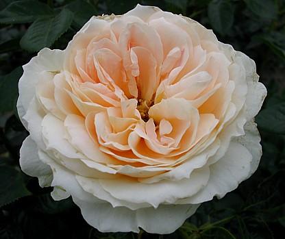 Eine Zauberhafte Rose